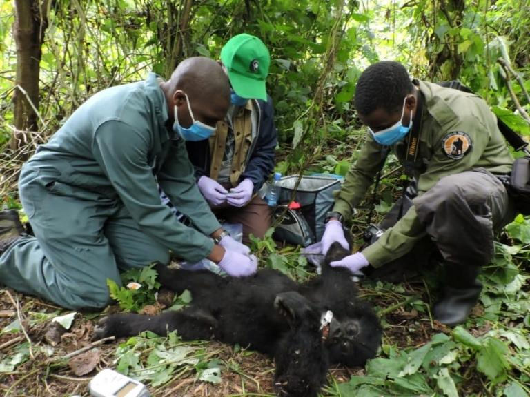 Three men treat an anesthetised infant ape on the forest floor.
