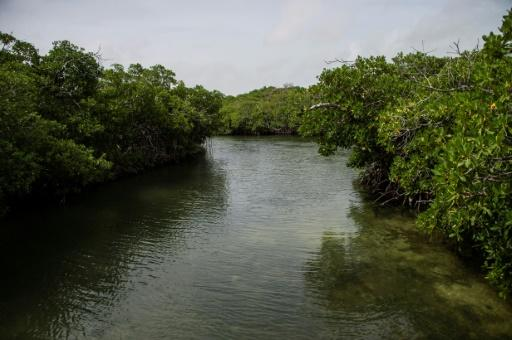 The mangroves help protect the reef and serve as a breeding ground for many of the hundreds of fish species that inhabit the area