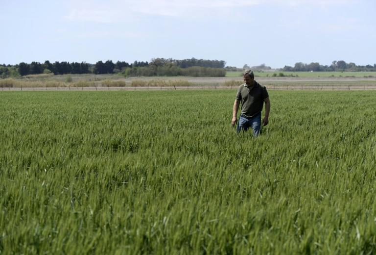 Farmer Daniel Berdini walks in a wheat field at a farm near Ramallo on October 9