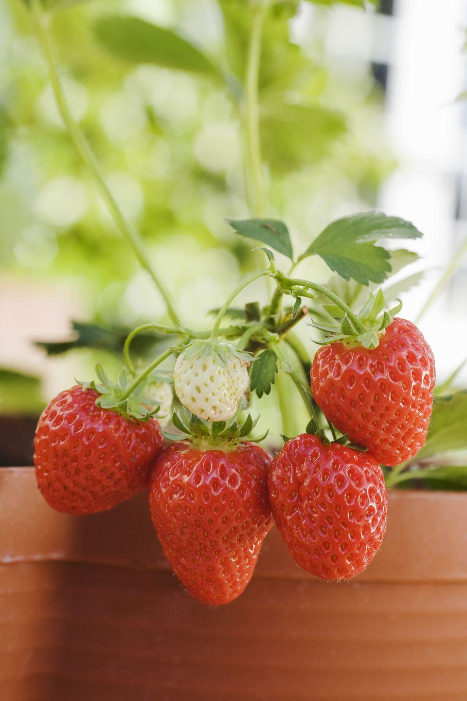 "<p>Why not add perennial edibles to your patio garden? New ever-bearing strawberry varieties sport little berries that are almost too pretty to eat! Keeping them in tall pots also prevents your friends, the chipmunks and other rodents, from gnawing on them. Strawberries need full sun.</p><p><a class=""link rapid-noclick-resp"" href=""https://www.provenwinners.com/plants/fragaria/berried-treasure-red-strawberry-fragaria-ananassa"" rel=""nofollow noopener"" target=""_blank"" data-ylk=""slk:SHOP STRAWBERRIES"">SHOP STRAWBERRIES</a></p>"