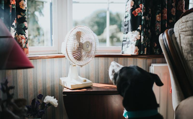 Black dog looking at a desk fan, enjoying the breeze.