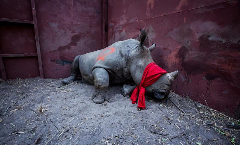 A young white rhino waits in a boma, blindfolded and partially drugged after a long journey from South Africa, before being released into the wild in Botswana as part of efforts to rebuild Botswana's lost rhino populations.