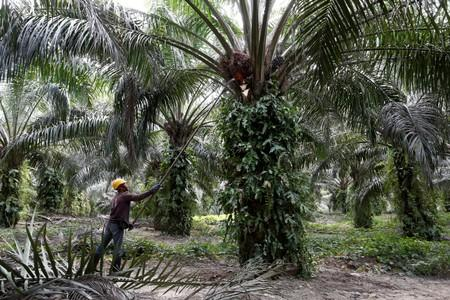 FILE PHOTO: A worker collects palm oil fruits at a plantation in Bahau, Negeri Sembilan