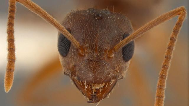 New Ant Species Arrives With a Taste for Electronics, Scientists Say