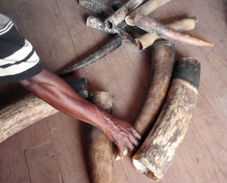 In this April 17, 2011 photo released by Project for the Application of Law for Fauna on Tuesday, March 5, 2013, seized tusks including some from elephant babies are displayed in Pokola, Congo. Conservationists said Tuesday, March 5, 2013 there's a new threat to the survival of Africa's elephants that may be just as deadly as poachers' bullets: the black-market trade of ivory in cyberspace. (AP Photo/Project for the Application of Law for Fauna, Naftali Honig) EDITORIAL USE ONLY