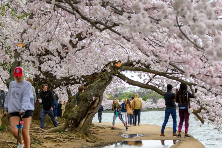 Washington's famous cherry blossoms, pictured on March 21, opened just as most public attractions across the city closed and nearly a billion people were confined to their homes worldwide