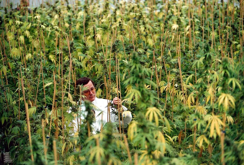 Geoffrey Guy, Chairman and CEO of GW Pharmaceuticals plc with cannabis plants. Photograph by Tim Bishop