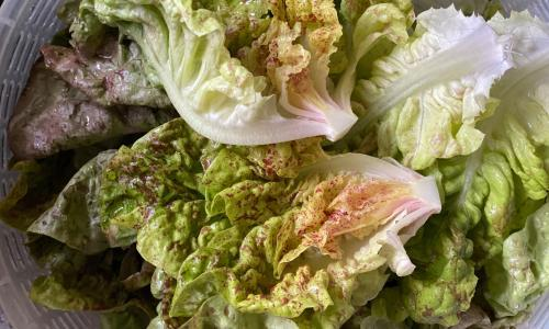 Homegrown lettuce: a weed that keeps on giving