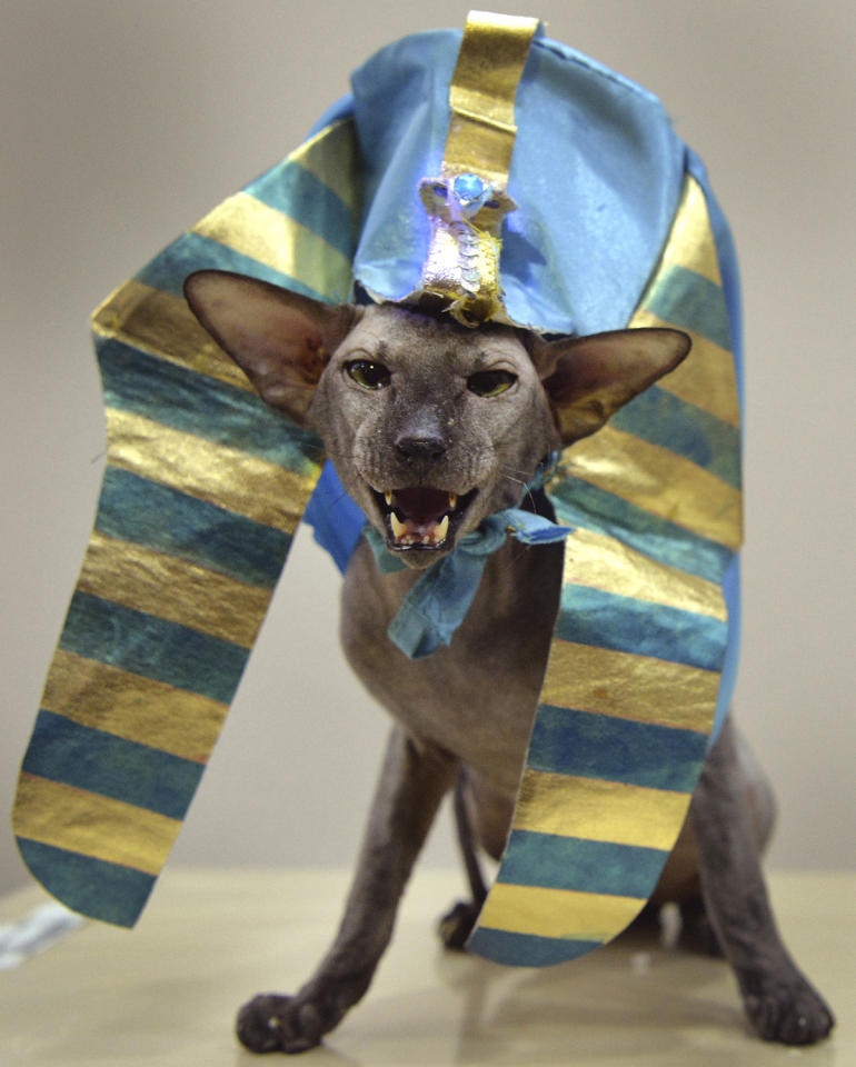 <p>An Oriental Shorthair cat, wearing a Sphinx costume, is pictured during the International cat exhibition in Bishkek on March 19, 2017. (Photo: Vyacheslav Oseledko/AFP/Getty Images) </p>