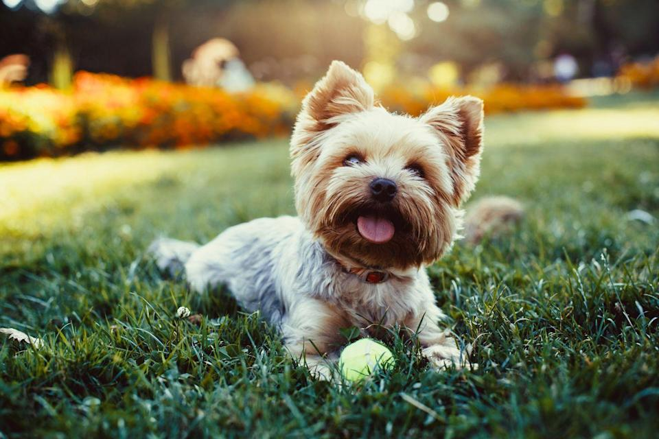"""<p>Yorkies are the <a href=""""https://www.akc.org/dog-breeds/yorkshire-terrier/"""" rel=""""nofollow noopener"""" target=""""_blank"""" data-ylk=""""slk:ninth most popular breed"""" class=""""link rapid-noclick-resp"""">ninth most popular breed</a> of dog in America, according to the AKC, and for good reason: they're incredibly cute, great with kids and other dogs, and adapt easily to their surroundings. Rover.com also credits their popularity to how little they shed. Because Yorkies' hair grows at the same rate all year long, <a href=""""https://www.rover.com/blog/yorkies-shed-answer-might-surprise/"""" rel=""""nofollow noopener"""" target=""""_blank"""" data-ylk=""""slk:they don't shed nearly as much as other dogs"""" class=""""link rapid-noclick-resp"""">they don't shed nearly as much as other dogs</a> who need a heavier coat come winter. </p>"""