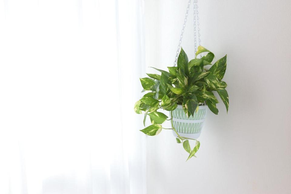 """<p>This hardy plant is perfect for newbies because it's extremely tolerant a.k.a. it can survive weeks without water and light. Pothos, which also goes by Devil's Ivy, prefers moderate light, but will tolerate low light. Let it dry out between waterings.</p><p><a class=""""link rapid-noclick-resp"""" href=""""https://www.amazon.com/Shop-Succulents-Pothos-Succulent-Plant/dp/B083Q6HF6R/?tag=syn-yahoo-20&ascsubtag=%5Bartid%7C10055.g.32440507%5Bsrc%7Cyahoo-us"""" rel=""""nofollow noopener"""" target=""""_blank"""" data-ylk=""""slk:SHOP POTHOS"""">SHOP POTHOS</a><br></p>"""