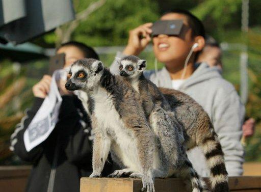 A group of about 20 lemurs at the Japan Monkey Centre jumped up and down wildly during the annular eclipse