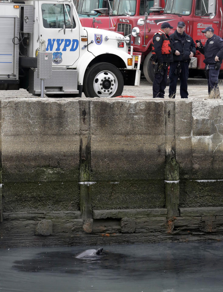 A dolphin surfaces in the Gowanus Canal in the Brooklyn borough of New York, Friday, Jan. 25, 2013. The New York City Police Dept. said animal experts were waiting to see if the dolphin would leave on its own during the evening's high tide. If not, they plan to lend a hand on Saturday morning. According to authorities at the scene, the dolphin appeared to be adventurous, rather than stranded.(AP Photo/Richard Drew)