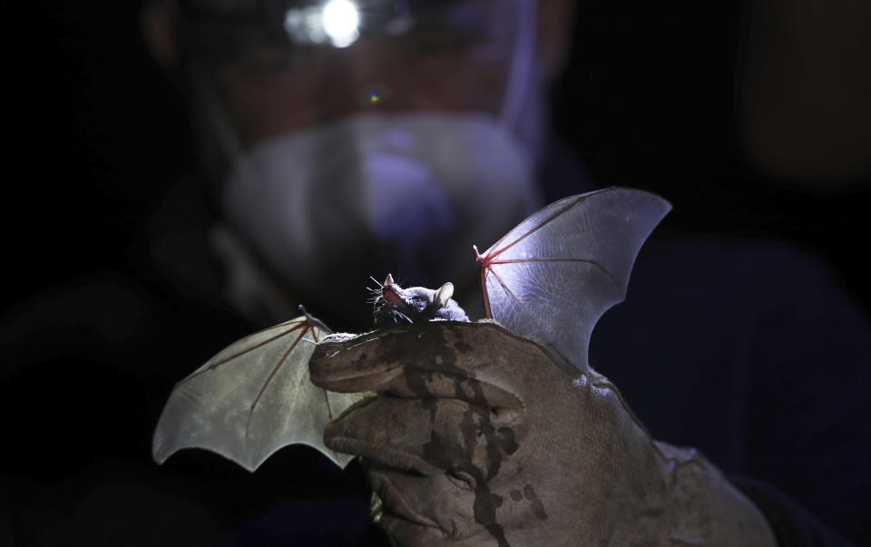 A Mexican long-tongued bat is held by Mexico's National Autonomous University, UNAM, Ecology Institute Biologist Rodrigo Medellin after it was briefly captured for a study at the university's botanical gardens, amid the new coronavirus pandemic in Mexico City, Tuesday, March 16, 2021. Listed as threatened in 1994, the bat normally lives in dry forests and deserts, in a range that extends from the southwestern United States to Central America. (AP Photo/Marco Ugarte)
