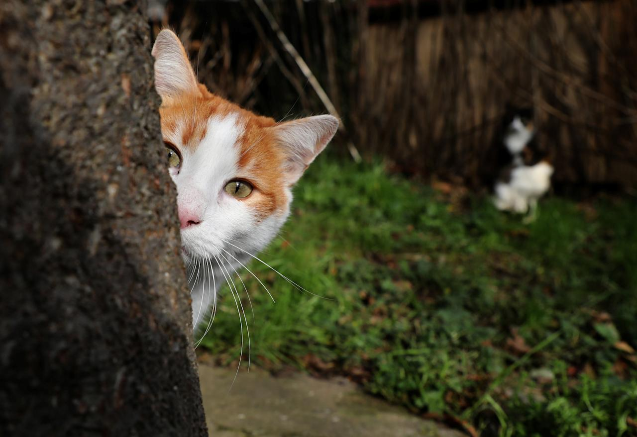 <p>A cat peers out from behind a tree on Jan. 15, 2018. (Photo: Goran Tomasevic/Reuters) </p>