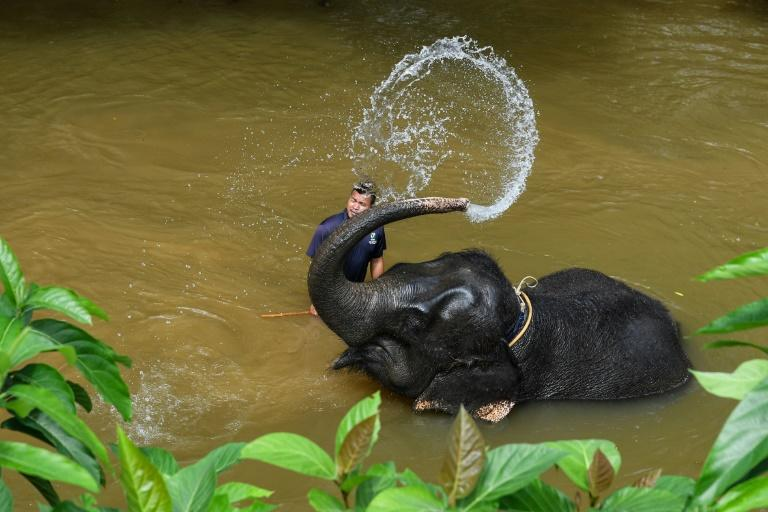 Mahouts care for a 26-strong group of endangered Asian elephants at the sanctuary