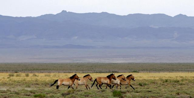 <p>A herd of endangered Przewalski's horses trot across the Takhin Tal National Park, part of the Great Gobi B Strictly Protected Area, in south-west Mongolia, June 22, 2017. (Photo: David W. Cerny/Reuters) </p>