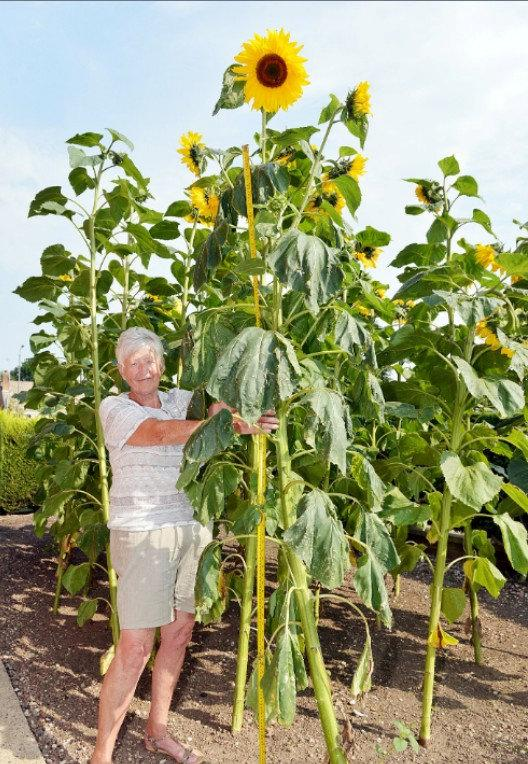 Pat Gore with her nine foot sunflower.