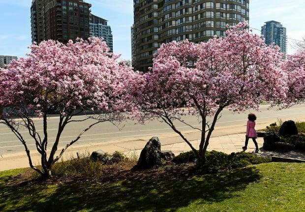A person walks past cherry blossom trees at Kariya Park during the COVID-19 pandemic in Mississauga, Ont., on Monday, April 19, 2021. THE CANADIAN PRESS/Nathan Denette