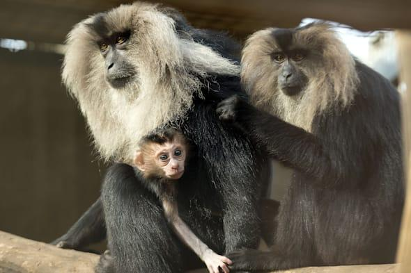 Lion-tailed macaques escape Belfast Zoo