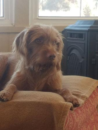 Angus, a a 3-year-old wire-haired Vizsla dog owned by Terran Woolley is pictured in Hutchinson