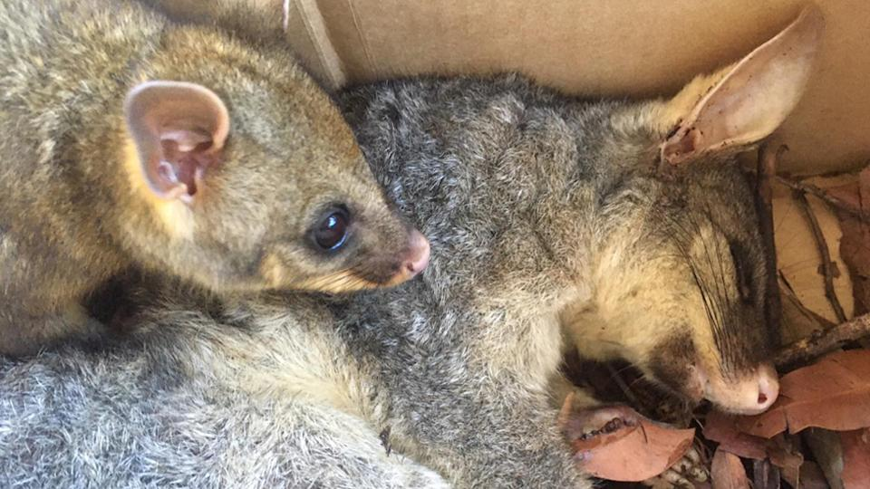 A mother brushtail possum who died from rat bait poisoning and her orphaned joey
