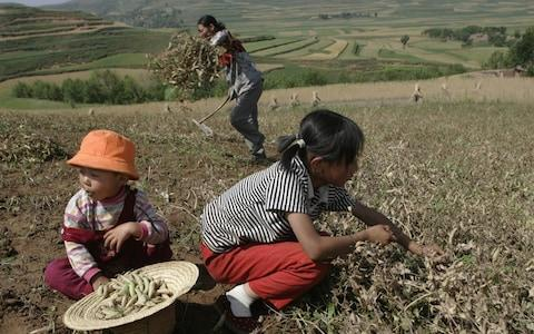 Children help their parents harvest beans in a village July 24, 2005 in Guyuan, Ningxia Hui Autonomous Region, northwest China.  - Credit: Getty