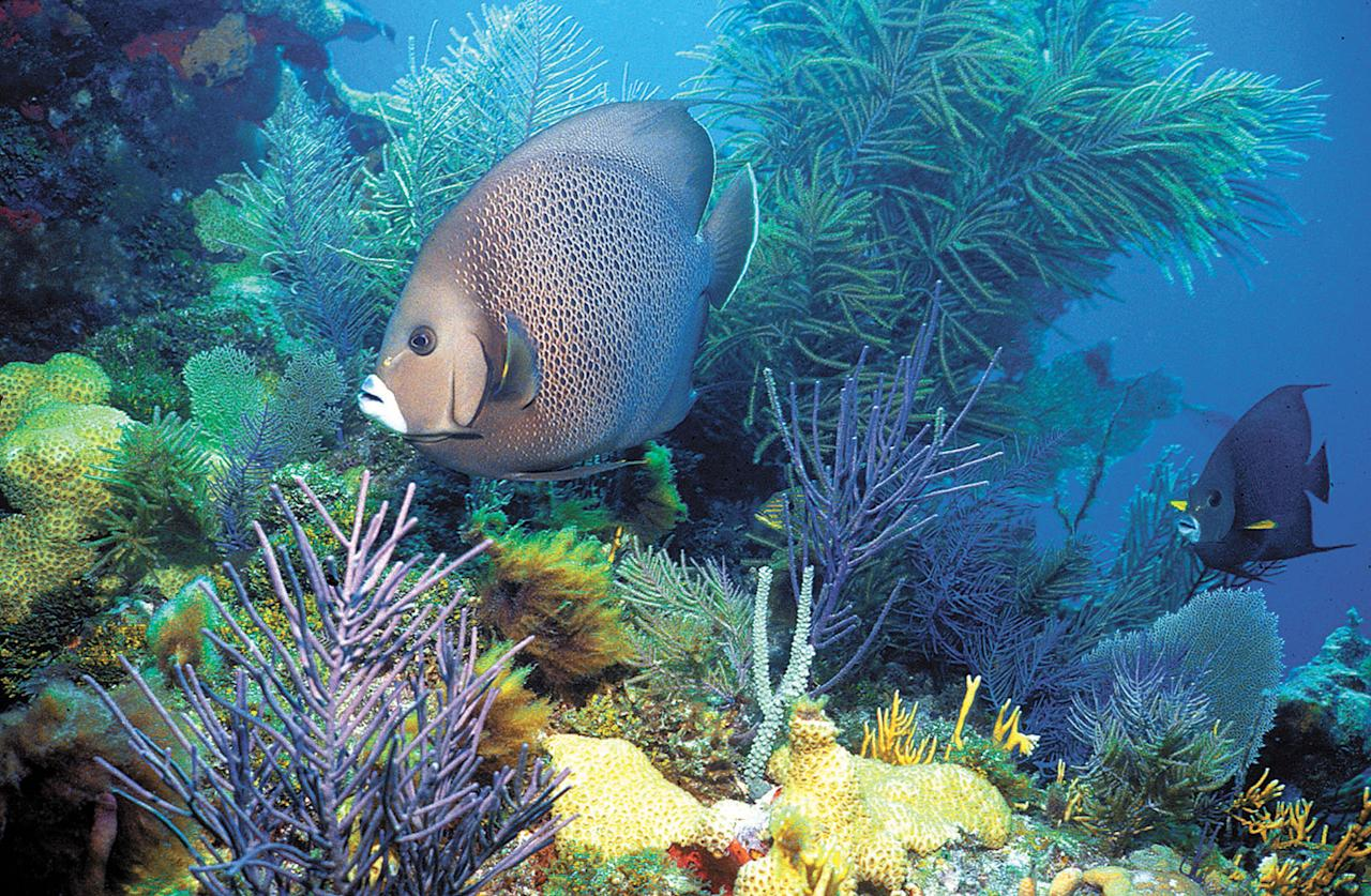 An undated image provided by the NOAA shows a shallow-water coral reef a gray angelfish swimming amongst soft corals in the Florida Keys. Despite BP siphoning some of the oil spewing into the Gulf of Mexico, worries escalated about the ooze reaching a major ocean current that could carry it through the Florida Keys and up the East Coast. (AP Photo/NOAA) ------ 40 cuadratines color