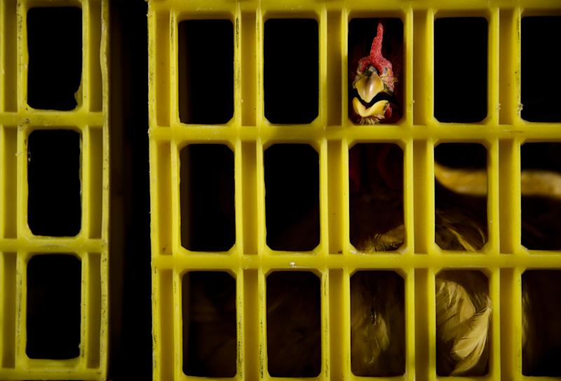 A chicken is inside a cage at a slaughterhouse, approved by the municipal government to process poultry, after live poultry trading was banned following the H7N9 bird flu outbreak, in Pudong, Shanghai Friday, April 12, 2013. After a new and lethal strain of bird flu emerged in Shanghai two weeks ago, the government of China's bustling financial capital responded with live updates on a Twitter-like microblog. It's a starkly different approach than a decade ago, when Chinese officials silenced reporting as a deadly pneumonia later known as SARS killed dozens in the south. (AP Photo) CHINA OUT