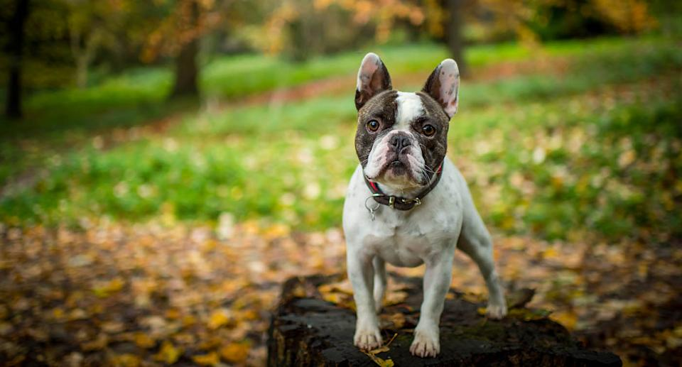 French bulldog in a park. Source: Getty Images