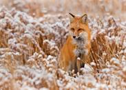 """<p>Foxes don't hibernate in the winter, so it's not uncommon to see them sneaking their way through a snowy field. They also develop a <a href=""""https://www.crittercontrol.com/wildlife/fox/do-foxes-hibernate"""" rel=""""nofollow noopener"""" target=""""_blank"""" data-ylk=""""slk:thicker winter coat"""" class=""""link rapid-noclick-resp"""">thicker winter coat</a> to stay warm, and they spend most of the winter hunting and foraging. </p>"""