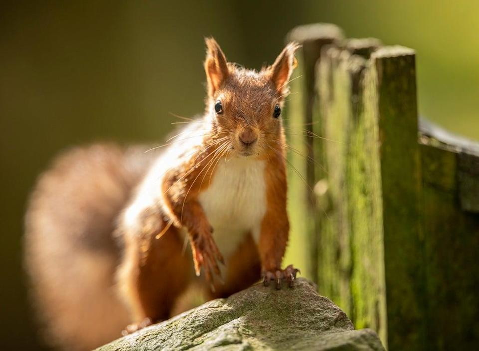 The UK has only 53% of its biodiversity left, with species such as the red squirrel in decline (Danny Lawson/PA) (PA Archive)