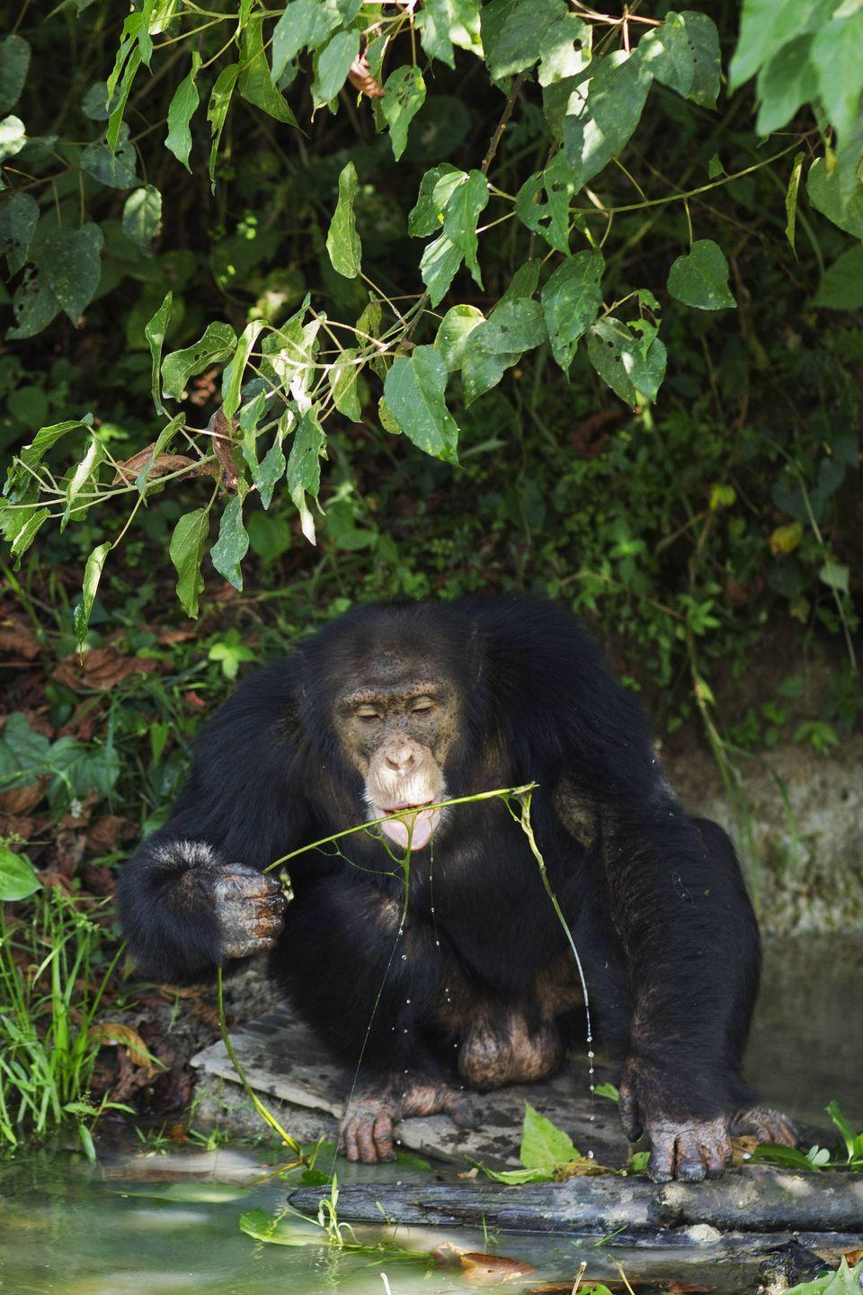 "<p><strong>Scientific classification:</strong> <em>Pan troglodytes verus</em></p><p><strong>Location:</strong> Côte d'Ivoire, Guinea</p><p>The chimpanzee species—comprising the common chimp and the less territorial bonobo—are the closest living relatives to humans, our lasting common ancestor having lived around 12 million years ago. Both chimp species are standing on the brink of extinction.</p><p>The common chimpanzee comprises four (possibly five) subspecies with around 300,000 individuals across a wide range in Africa. The western chimpanzee is the closest to the brink, with only a <a href=""https://www.neprimateconservancy.org/western-chimpanzee.html"" rel=""nofollow noopener"" target=""_blank"" data-ylk=""slk:few thousand individuals"" class=""link rapid-noclick-resp"">few thousand individuals</a> surviving. The bulk of the remaining individuals are the central chimpanzee, comprising somewhere between 70,000 and 115,000 chimps, though estimates vary widely. Like the gorilla, habitat encroachment, poaching, hunting, and disease threaten the individuals.</p>"