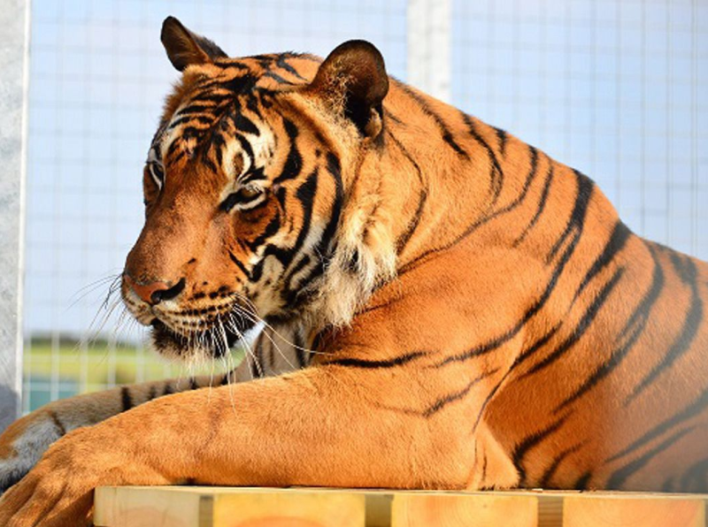 Photo of a tiger after one killed a zoo keeper at Hamerton Zoo Park in Cambridgeshire.
