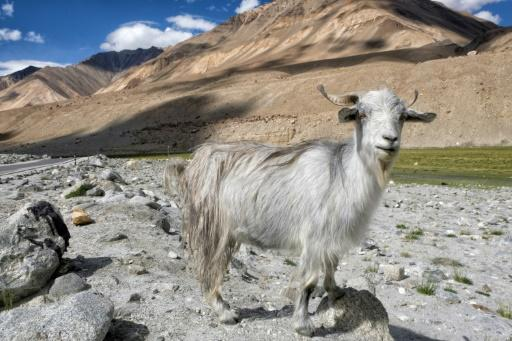Wool from pashmina goats, reared by nomads in Ladakh, is the most expensive and coveted cashmere in the world