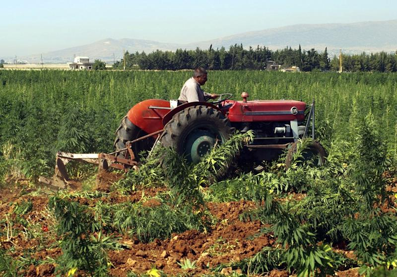 FILE - In this Monday, June 27, 2011 file photo, a worker drives a tractor to uproot cannabis plants under the watchful eye of anti-drug policemen, unseen, in a field in the eastern city of Baalbek, Lebanon. Lebanon's police forces are mistreating and torturing people including drug users, sex workers and homosexuals, an international human rights group said in a report released Wednesday. (AP Photo, File)