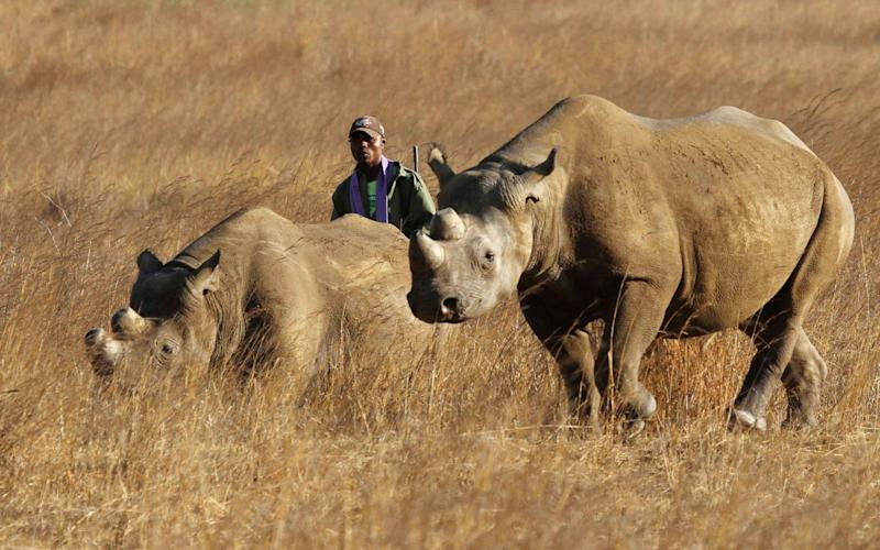 Oxford University has worked with Chinese scientists to create fake rhino horn that would be indistinguishable from the real thing - X02381