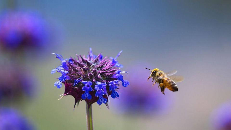 <p><strong>Honey Bee<br><br></strong>Nebraska is another state that has recognized the importance of the honey bee to agriculture. </p>