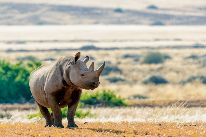 "At the turn of the 20th century, the four subspecies of black rhinoceros, numbering <a href=""https://blogs.scientificamerican.com/extinction-countdown/how-the-western-black-rhino-went-extinct/"" target=""_blank"">about a million</a> in all, thrived in the savannahs of Africa. Today, that number has plunged to about 5,000 &mdash; a figure that doesn&rsquo;t include a single <a href=""http://www.iucnredlist.org/details/39319/0"" target=""_blank"">Western black rhino</a>, a subspecies now presumed extinct after last being sighted in 2006. <br /><br />About <a href=""http://wwf.panda.org/what_we_do/endangered_species/rhinoceros/african_rhinos/black_rhinoceros/"" target=""_blank"">96 percent</a> of black rhinos were killed by poachers between 1970 and 1992, according to the World Wildlife Fund. <br /><br />The animals were &mdash; and continue to be &mdash; slaughtered for their horns, which are coveted in parts of Asia for their <a href=""http://www.pbs.org/wnet/nature/rhinoceros-rhino-horn-use-fact-vs-fiction/1178/"" target=""_blank"">alleged healing qualities</a>&nbsp;(a claim unsupported by science). A South-western black rhino is pictured above."