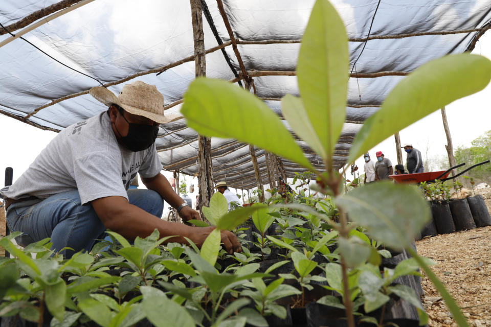 A man inspects seedlings at a Planting Life site, a jobs and reforestation program promoted by Mexican President Andres Manuel Lopez Obrador, in Kopoma, Yucatan state, Mexico, Thursday, April 22, 2021. President Lopez Obrador is making a strong push for his oft-questioned tree-planting program, trying to get the United States to help fund expansion of the program into Central America as a way to stem migration. (AP Photo/Martin Zetina)