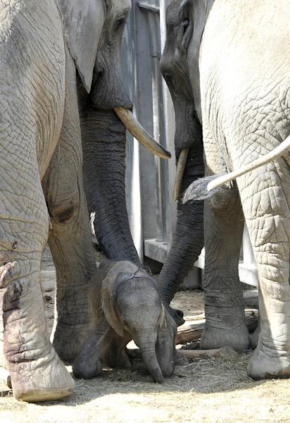 CORRECTS DATE - Elephant mother Tonga, left, and half-sister Mongu stand next to the one day-old and yet unnamed female elephant calf at the Schoenbrunn zoo in Vienna, Austria, on Thursday, Sept. 5, 2013. (AP Photo/Hans Punz)