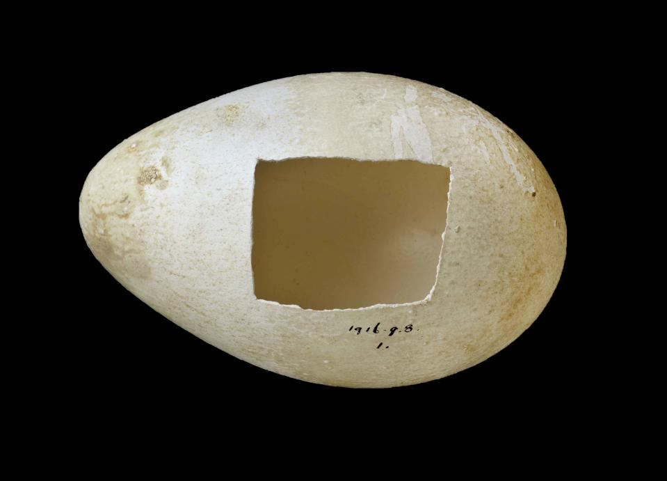 Emperor penguin egg – one of only three fresh eggs collected during Captain Robert Falcon Scott's ill-fated last expedition to the Antarctic in 1910. The expedition team hoped that the embryos inside would confirm the suspected link between reptiles and birds. (Natural History Museum)