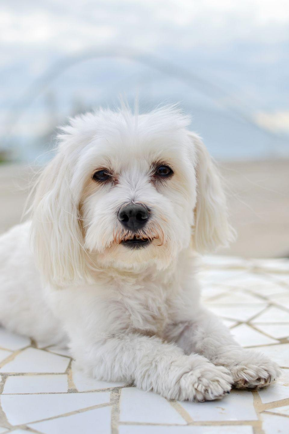 """<p>Averaging a teeny-tiny seven pounds, the ancient Greek breed basically defines the concept of """"lap dog."""" Even marathon cuddle sessions won't leave you sneezing, since their all-white coats are hypoallergenic. You can choose between cutting their soft fur into a sporty trim or letting it grow long, depending on <a href=""""https://www.goodhousekeeping.com/life/pets/g27018110/best-pet-hair-removers-amazon/"""" rel=""""nofollow noopener"""" target=""""_blank"""" data-ylk=""""slk:how much maintenance"""" class=""""link rapid-noclick-resp"""">how much maintenance</a> you prefer. </p>"""
