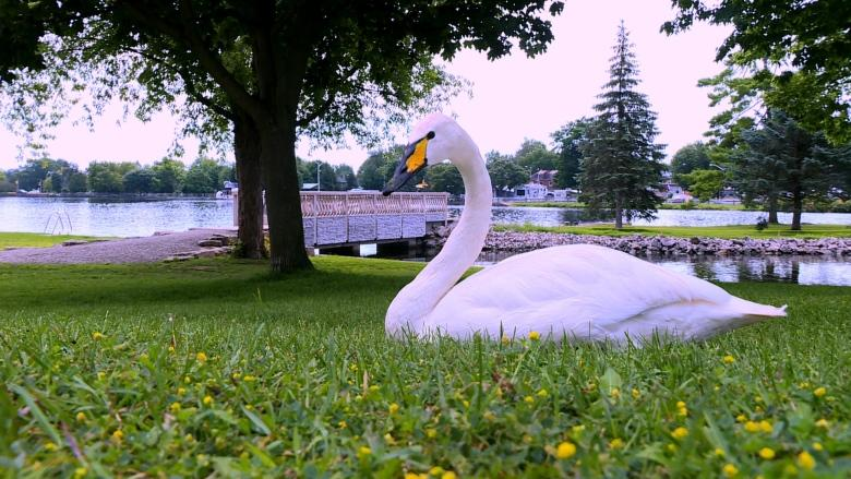 In Smiths Falls, the geese are not chicken of swans