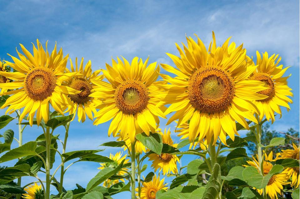 """<p>Ready for a day of ice-cream eating and sunflower gazing? That's exactly what you'll get at the family-owned <a href=""""https://www.buttonwoodfarmicecream.com/"""" rel=""""nofollow noopener"""" target=""""_blank"""" data-ylk=""""slk:Buttonwood Farm"""" class=""""link rapid-noclick-resp"""">Buttonwood Farm</a> in <a href=""""https://go.redirectingat.com?id=74968X1596630&url=https%3A%2F%2Fwww.tripadvisor.com%2FTourism-g33794-Griswold_Mystic_Country_Connecticut-Vacations.html&sref=https%3A%2F%2Fwww.countryliving.com%2Flife%2Ftravel%2Fg21937858%2Fsunflower-fields-near-me%2F"""" rel=""""nofollow noopener"""" target=""""_blank"""" data-ylk=""""slk:Griswold, Connecticut"""" class=""""link rapid-noclick-resp"""">Griswold, Connecticut</a>. Their 14-acre sunflower field is home to more than 300,000 flowers, all of which are grown, cut, and then sold to raise funds for the local Make-a-Wish Foundation of Connecticut. Once you've walked around the field, head to their ice-cream stand to try one of 50 flavors they make on the farm.</p><p><a class=""""link rapid-noclick-resp"""" href=""""https://go.redirectingat.com?id=74968X1596630&url=https%3A%2F%2Fwww.tripadvisor.com%2FAttractions-g33794-Activities-Griswold_Mystic_Country_Connecticut.html&sref=https%3A%2F%2Fwww.countryliving.com%2Flife%2Ftravel%2Fg21937858%2Fsunflower-fields-near-me%2F"""" rel=""""nofollow noopener"""" target=""""_blank"""" data-ylk=""""slk:PLAN YOUR TRIP"""">PLAN YOUR TRIP</a></p>"""