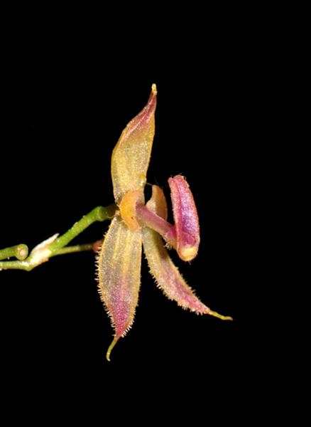 "The orchid was given the name ""Andinia tingomariana"" by the US Department of Biologicial and Ecological Organisms in honor of the protected natural area where it was discovered"