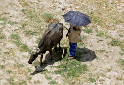 A man holds an umbrella as he walks next to his buffalo on the banks of the river Ganga on a hot summer day in Allahabad, India May 24, 2016. REUTERS/Jitendra Prakash