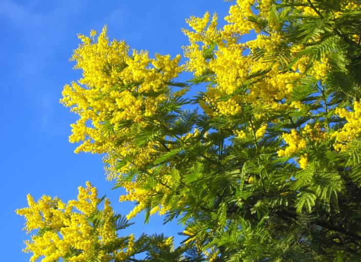 """<body> <p>The mimosa <a rel=""""nofollow noopener"""" href="""" http://www.bobvila.com/slideshow/6-fast-growing-shade-trees-45802#.VWzCJ2RViko?bv=yahoo"""" target=""""_blank"""" data-ylk=""""slk:tree"""" class=""""link rapid-noclick-resp"""">tree</a>, with its feathery, fern-like leaves and showy pink flowers, looks both exotic and romantic. You will not cultivate love with your neighbors, however, if you plant one. It is incredibly invasive and will spawn seedlings everywhere in your yard and throughout the neighborhood. Once it has taken hold, it's nearly impossible to get rid of.</p> <p><strong>Related: <a rel=""""nofollow noopener"""" href="""" http://www.bobvila.com/slideshow/16-ways-to-use-salvaged-wood-in-your-home-13311?bv=relss#.VWzCa2RViko?bv=yahoo"""" target=""""_blank"""" data-ylk=""""slk:16 Ways to Use Salvaged Wood in Your Home"""" class=""""link rapid-noclick-resp"""">16 Ways to Use Salvaged Wood in Your Home</a> </strong> </p> </body>"""