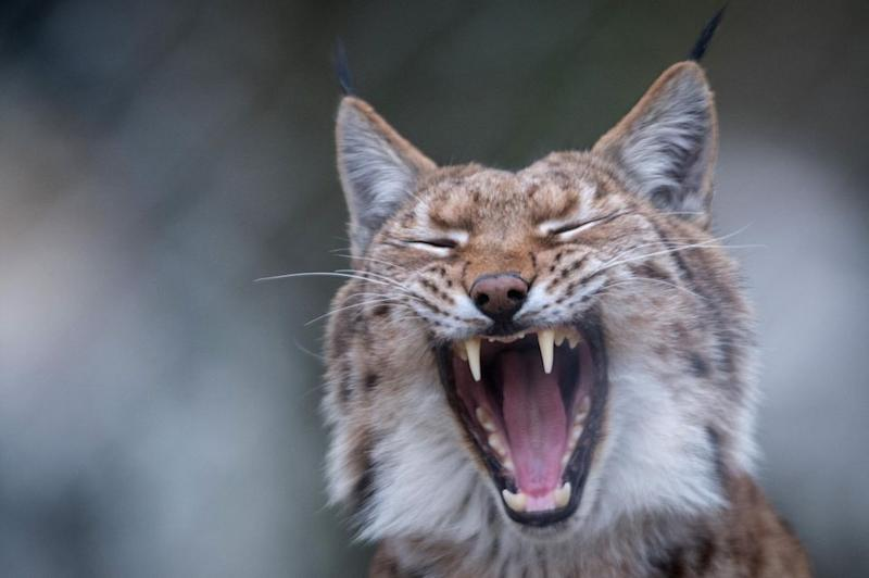 «La situation du lynx en France est carrément alarmante»
