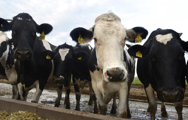 Dairy cows looking into camera. Source: AAP